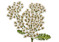 Flowers of yarrow, lat. Achillea millefolium, isolated on white - PhotoDune Item for Sale