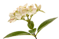Inflorescence of hydrangea, lat. Hydrangea paniculata, isolated - PhotoDune Item for Sale