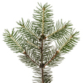 Spruce branch, isolated on white background - PhotoDune Item for Sale