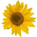 Sunflower isolated on white background - PhotoDune Item for Sale