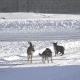 Stray Dogs on Winter Road - VideoHive Item for Sale