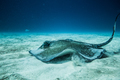 Common Stingray on the ground of the ocean. - PhotoDune Item for Sale