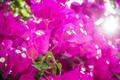 Purple colored blooming Bougainvillea flowers. - PhotoDune Item for Sale