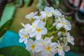 White blooming flowers of Plumeria in Caribbean. - PhotoDune Item for Sale