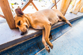 Homeless Tired small dog lying and sleeping in Caribbean airport - PhotoDune Item for Sale