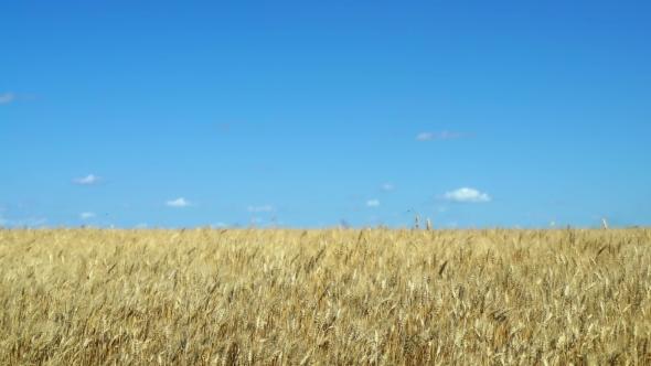 Wheat Crop Sways on Field Against Blue Sky