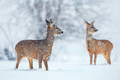 Wild roe deer in a snowfall - PhotoDune Item for Sale