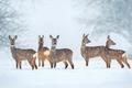 Wild roe deer herd in a snowfall - PhotoDune Item for Sale