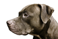 Isolated photo of Pitbull Terrier - PhotoDune Item for Sale