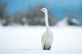 Great white egret in winter - PhotoDune Item for Sale
