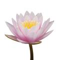 Pink waterlily - PhotoDune Item for Sale