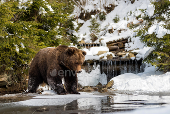 Wild brown bear near a forest lake