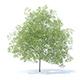 Peach Tree 3D Model 7.5m