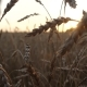 Waving Stalks of Wheat at Sunset - VideoHive Item for Sale