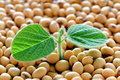 Young soy plant, germinating from soy seeds - PhotoDune Item for Sale