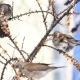 Fieldfares Invasion of the Gardens in Winter - VideoHive Item for Sale