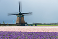 Windmill with hyacinths in spring - PhotoDune Item for Sale