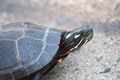 Painted Turtle - PhotoDune Item for Sale