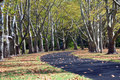 Path lined with Sycamore Trees - PhotoDune Item for Sale