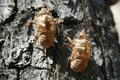 Cicada Shell - PhotoDune Item for Sale
