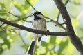 Black-capped Chickadee - PhotoDune Item for Sale