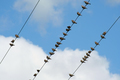 Birds on a wire - PhotoDune Item for Sale