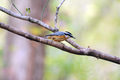 Red-breasted Nuthatch - PhotoDune Item for Sale