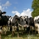 The Herd of Holstein Milk Cows Grazing on Pasture and Looking at the Camera During Warm Sunny Day - VideoHive Item for Sale