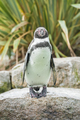 Humboldt Penguin - PhotoDune Item for Sale