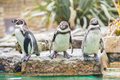Humboldt Penguins - PhotoDune Item for Sale