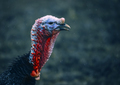 Wild Turkey, closeup portrait - PhotoDune Item for Sale