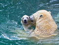 Bathing polar bears - PhotoDune Item for Sale