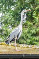 grey heron - PhotoDune Item for Sale