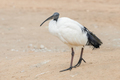 sacred ibis - PhotoDune Item for Sale