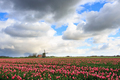 Clouds over a field with tulips and a windmill - PhotoDune Item for Sale