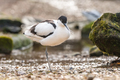 Pied Avocet - PhotoDune Item for Sale