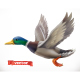 Duck - GraphicRiver Item for Sale