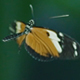 Mating Butterflies Dance - VideoHive Item for Sale