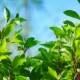 Fresh Young Green Linden Leaves Bright Sun Light - VideoHive Item for Sale
