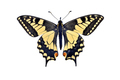 Old world swallowtail butterfly (Papilio Machaon), isolated on white - PhotoDune Item for Sale