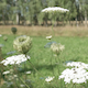 Flies on a White Flower - VideoHive Item for Sale