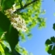 Fresh Young Green Chestnut Blooming in Bright Sunlight - VideoHive Item for Sale