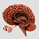 Anatomical Brain with Details - 3DOcean Item for Sale