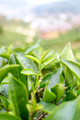 Closeup of Tea leafs from plantation site - PhotoDune Item for Sale