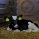 Small Calves on the Farm - VideoHive Item for Sale