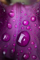 drops of dew on a purple flower leaf close-up - PhotoDune Item for Sale