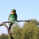 Male Bee-eater Bee Brought in Its Beak Females - VideoHive Item for Sale