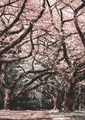 Cherry Blossom Forest - PhotoDune Item for Sale