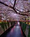 Blossoms in Meguro River - PhotoDune Item for Sale