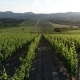 Rows Of Vineyard Grape Vines. Aerial View - VideoHive Item for Sale